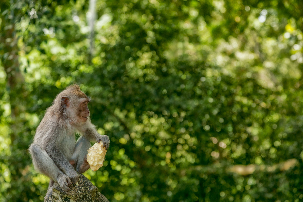 A  monkey  with a  large piece of fruit  in the  Monkey Forest  in  Ubud, Bali .