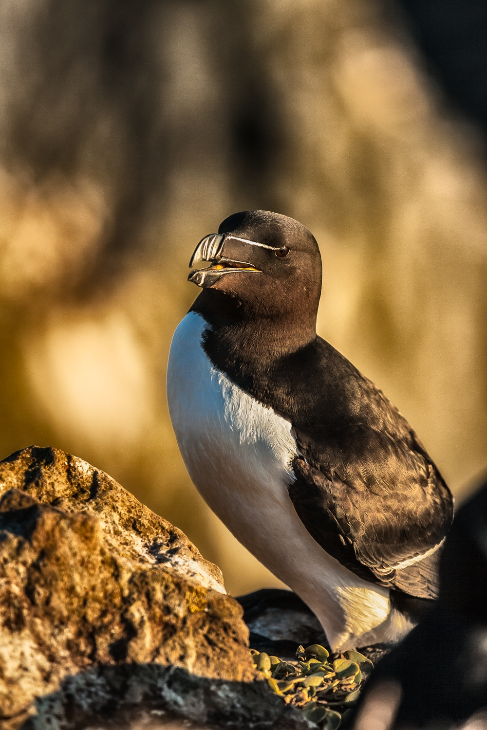 A Razorbill bathed in warm, end of day light on the Látrabjarg Cliffs, in far western Iceland.
