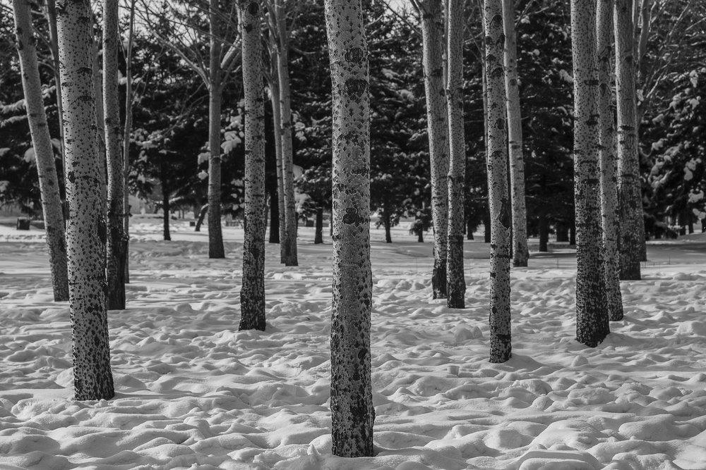 A stand of  trees in the snow  near  Harbin, China .