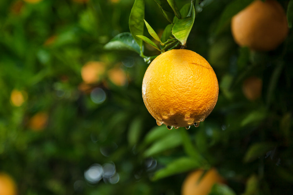 A  juicy orange  on a  rainy day  in an orange grove near  Mildura, Australia .