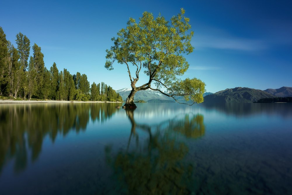 The famous  Wanaka Tree  in full bloom on a  lovely Spring morning .