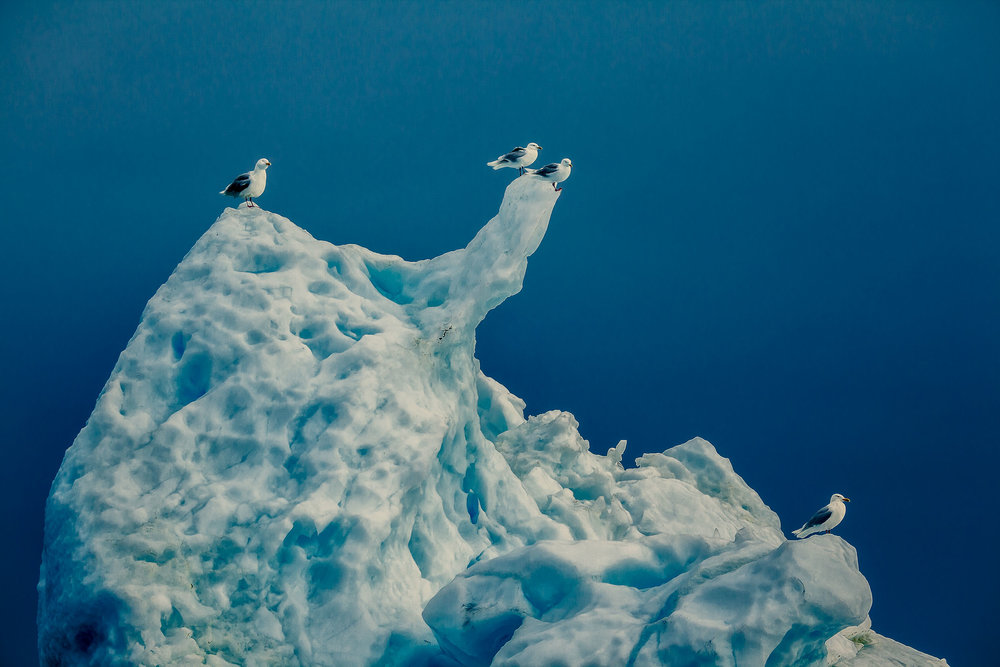Seagulls  resting on an  iceberg  in  Disko Bay  near the town of  Ilulissat, Greenland .