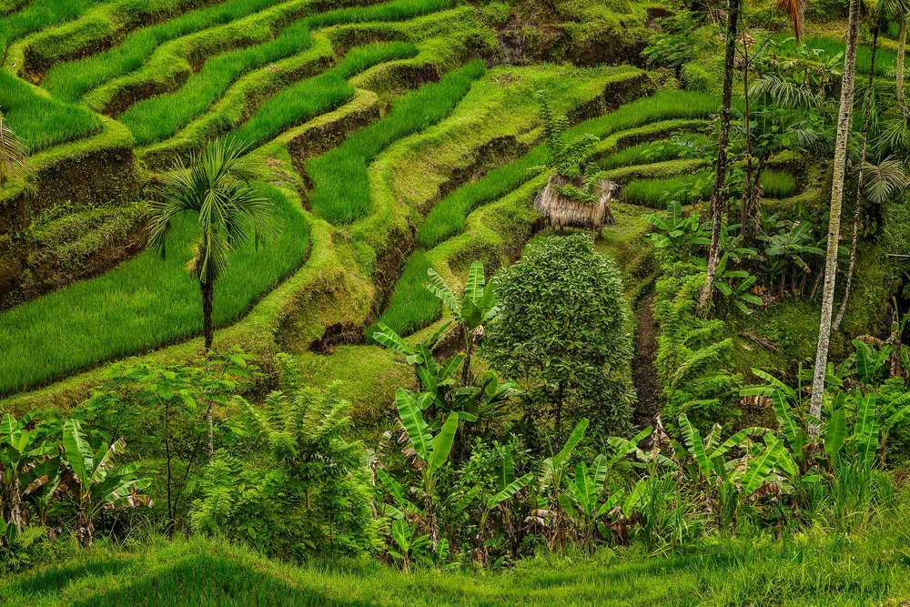 Verdant  green terraced rice fields  surround this  farmer's shelter  on the island of  Bali, Indonesia .