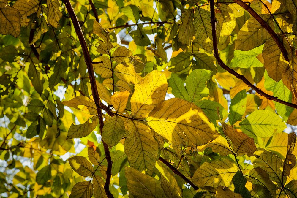 Green and golden leaves  on a huge tree at the  Botanical Gardens  in  Kolkata, India .