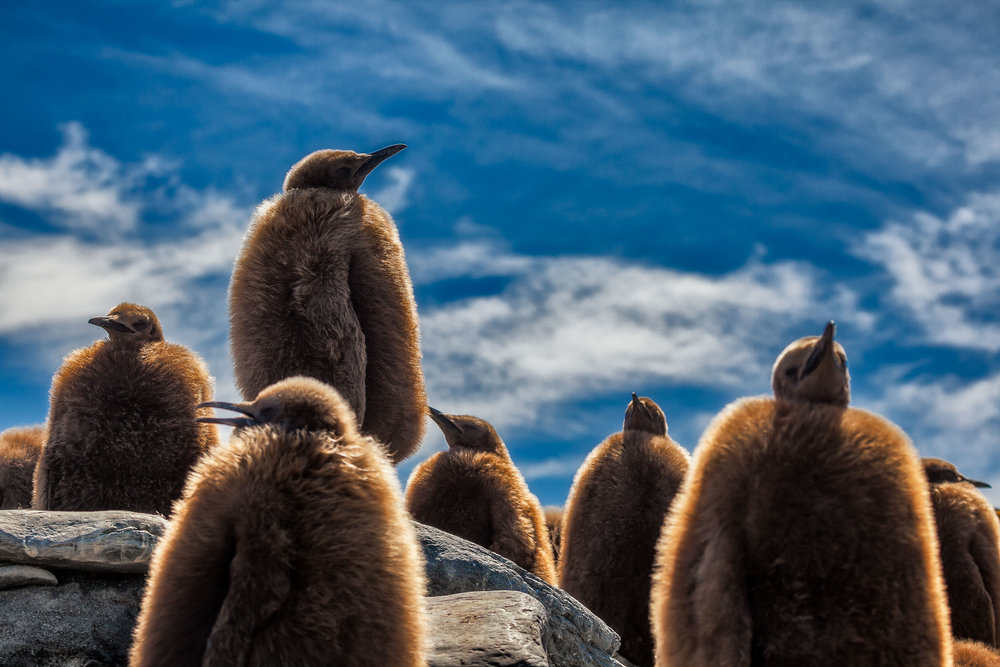 King Penguin chicks   , covered in fur, make for a dramatic image against a beautiful, blue sky on a    summer's day    on    South Georgia Island   .
