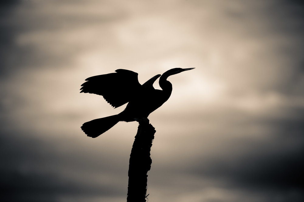 A    Darter    bird in silhouette,    Kakadu National Park   ,    Australia   .