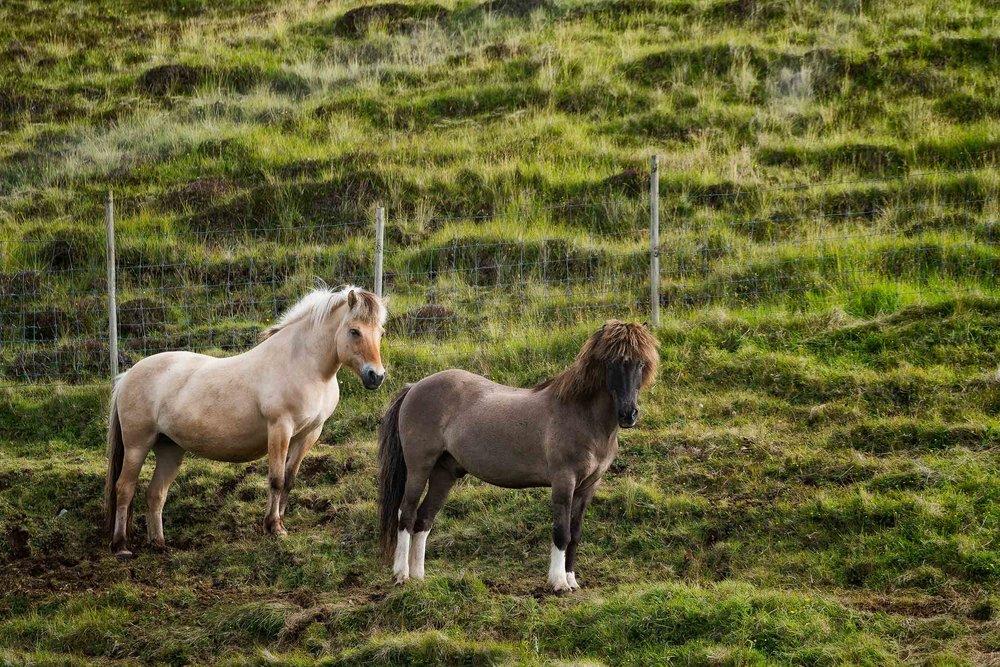 Two beautiful    Faroese horses    on the island of    Streymoy    in the    Faroe Islands   .