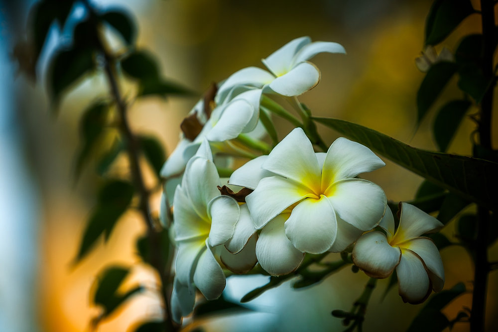I made this photo of beautiful    flowers at sunset    in    Kakadu National Park   ,    Australia   .