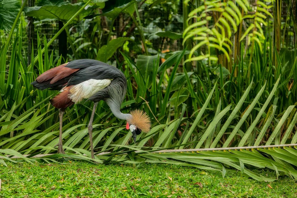 A colorful bird feeding at the    Bali Zoo    near Ubud in    Bali, Indonesia   .