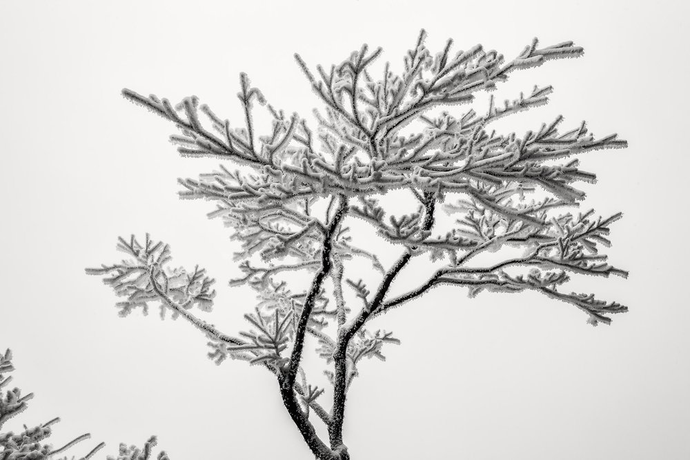 Ice crystals on a tree    showcase the delicate beauty of nature on    Huangshan    (i.e., Yellow Mountain),    China   .