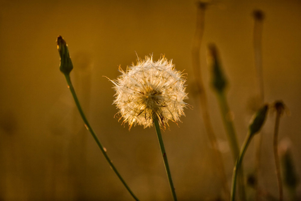 A    dandelion   , backlit by a warm sunset, by the banks of    Barkers Creek Reservoir    in    Harcourt, Australia   .