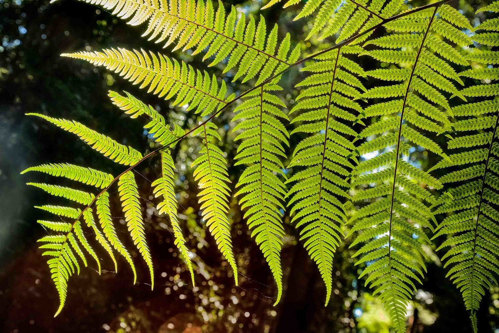A close-up view of a    backlit fern    on    Mount Tamborine    in    Queensland   .
