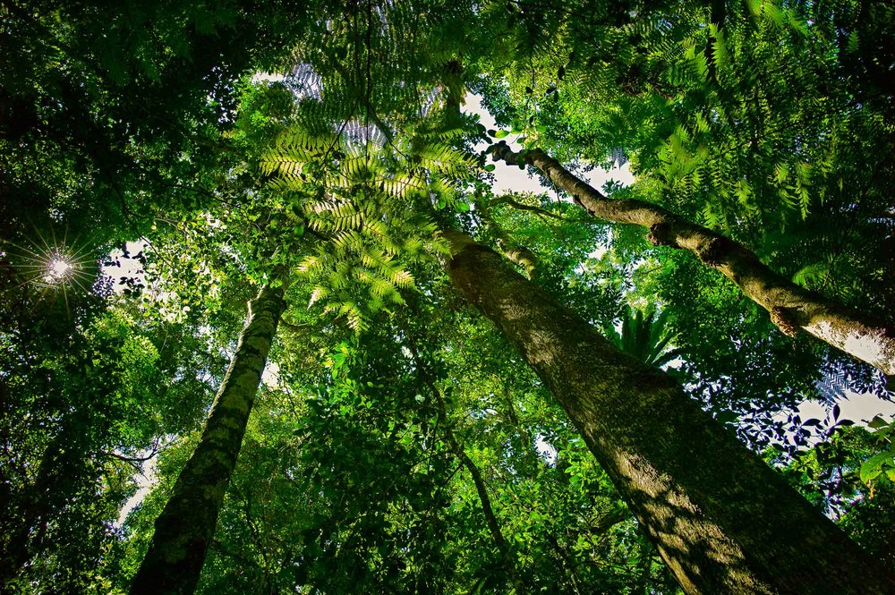 Looking up through the leafy canopy, towards the light, on    Mount Tamborine, Queensland, Australia   .
