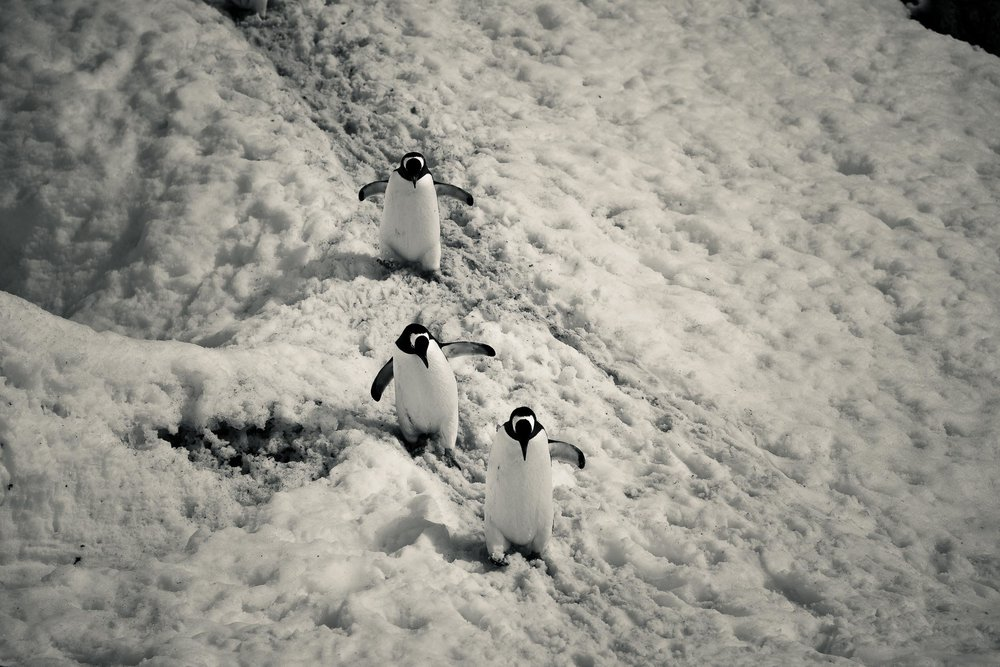 Three    Gentoo penguins    carefully making their way down a slippery slope at    Port Lockroy    in    Antarctica   .
