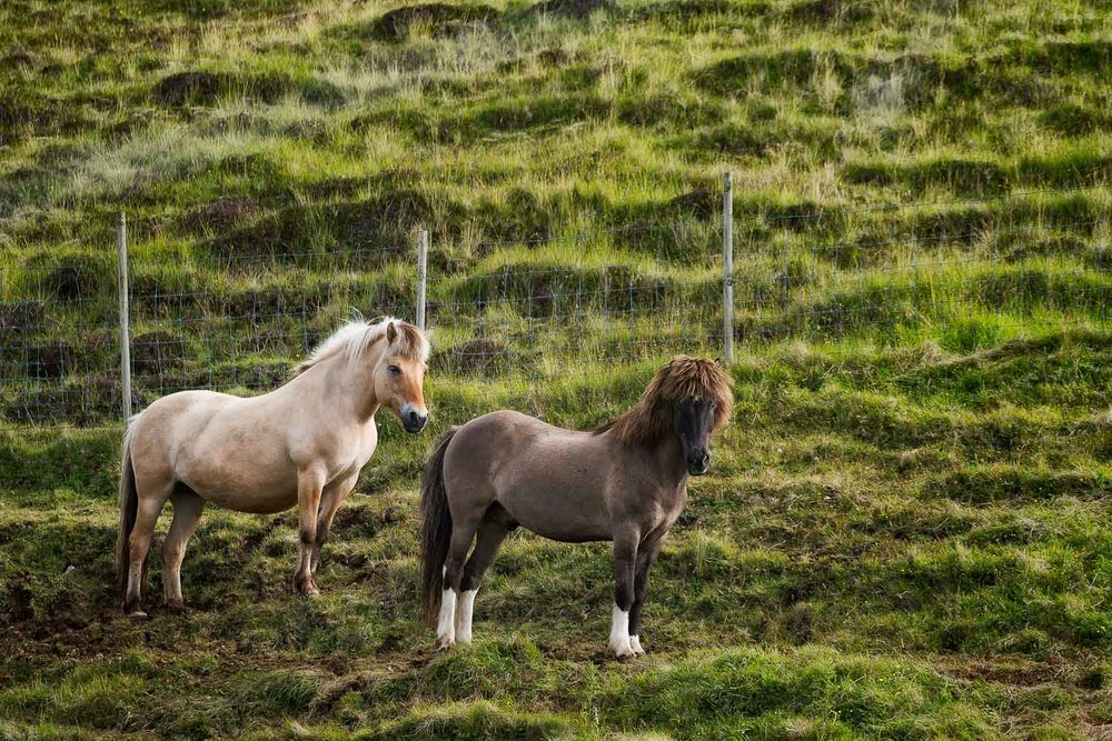 Two beautiful    Faroese horses    on the island of    Streymoy    in the    Faroe Islands   .