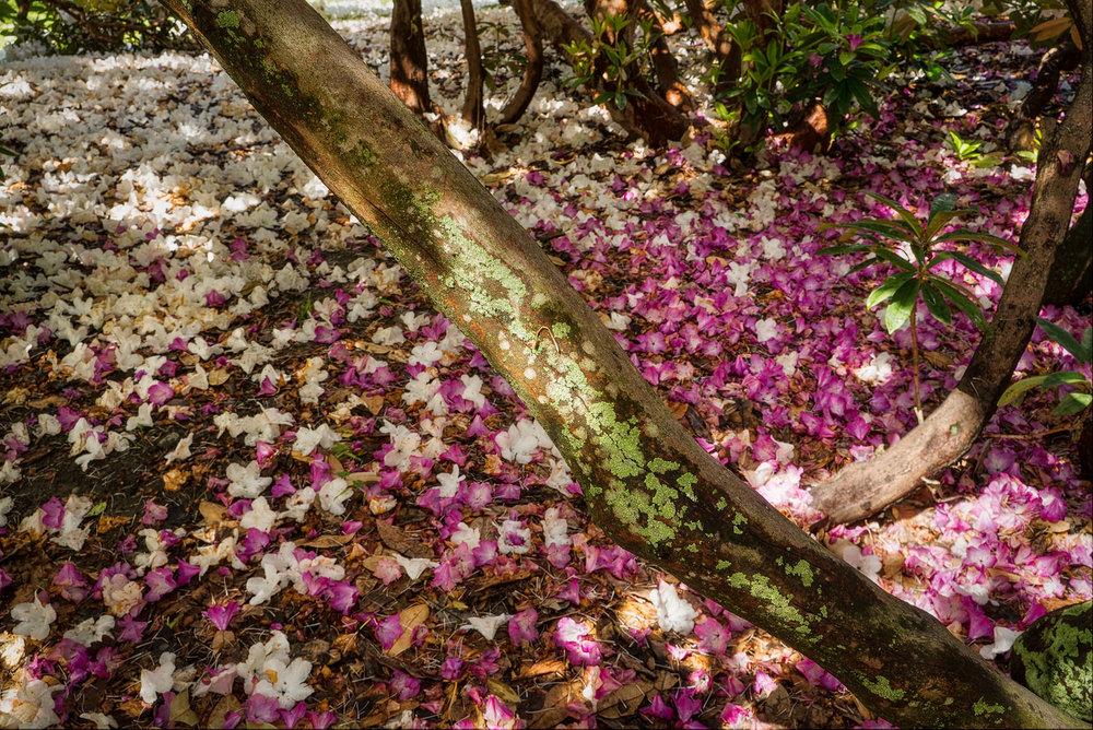 A tree branch divides a    colorful carpet of flowers    in the    Christchurch Botanical Gardens    in Christchurch, New Zealand.