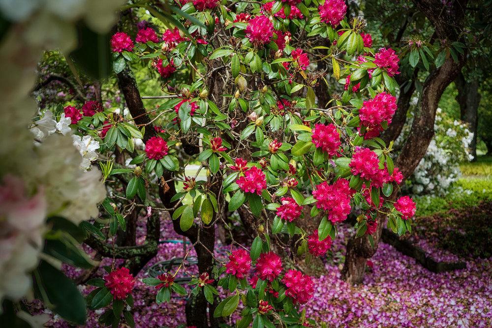 Vibrant crimson flowers    in the    Christchurch Botanical Gardens   , Christchurch, New Zealand.