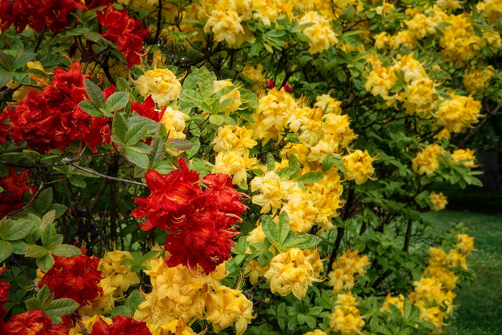 Red and yellow flowers    produce a scene of    harmonious color    at the    Christchurch Botanical Gardens    in Christchurch, New Zealand.
