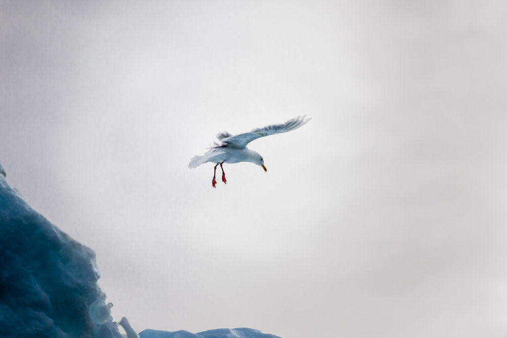 A    seagull    prepares to land on an iceberg on the    Ilulissat Icefjord    near the tourist town of Ilulissat in    Greenland   . I made this image with a Canon 5D Mark II camera with a Canon 70-200mm f/4 lens and a Canon 1.4x Extender attached.
