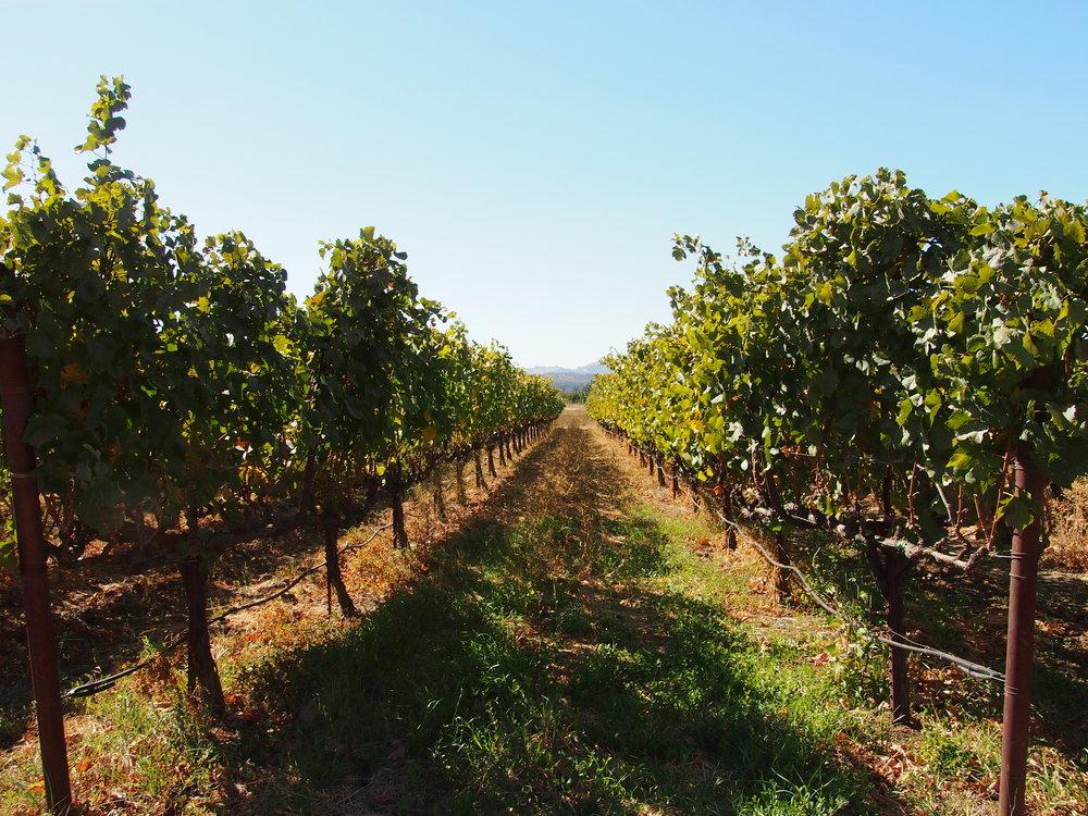 Scholium-Wine-Abe-Schoener-Vines.jpg