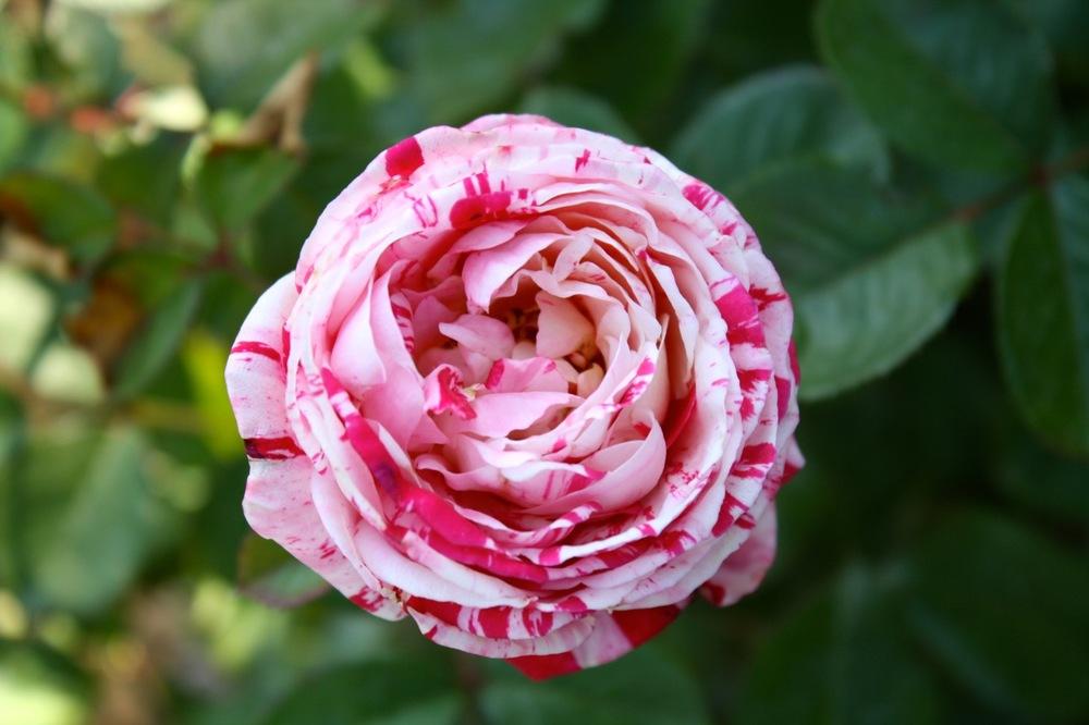 Rose, Desmontes, New Mexico