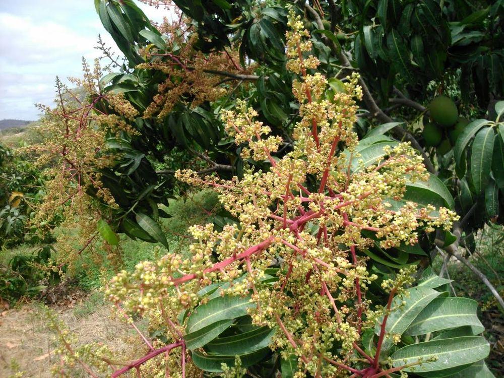 Mango bloom set Morales 2.jpg