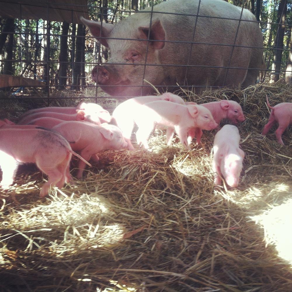 sow & piglets.jpg