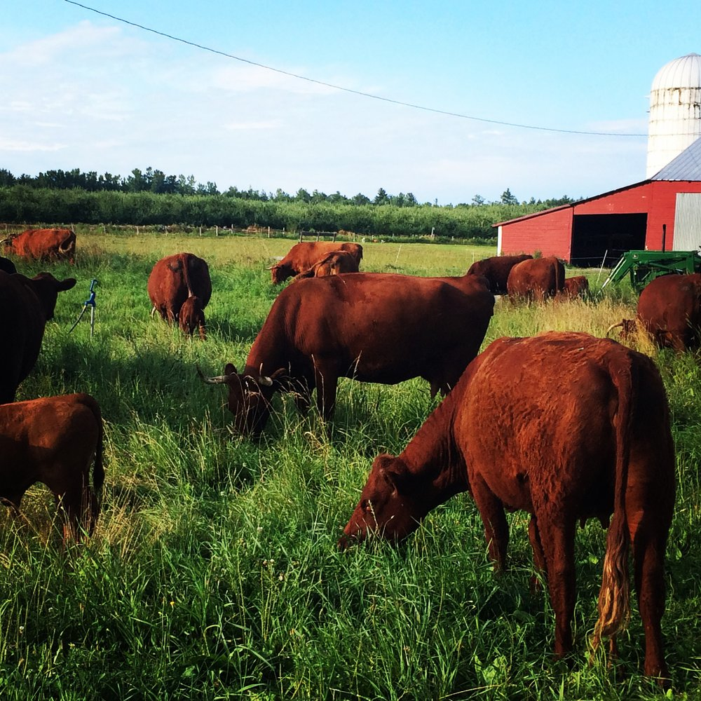red cows red barn.jpg