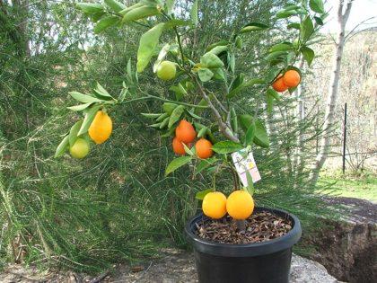 pruning fruit trees mango fruit salad
