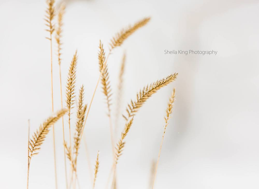 """'Serene'   Wild Wheat in cold peaceful snow"" - Sheila King    www.facebook.com/sheilakingphotography"