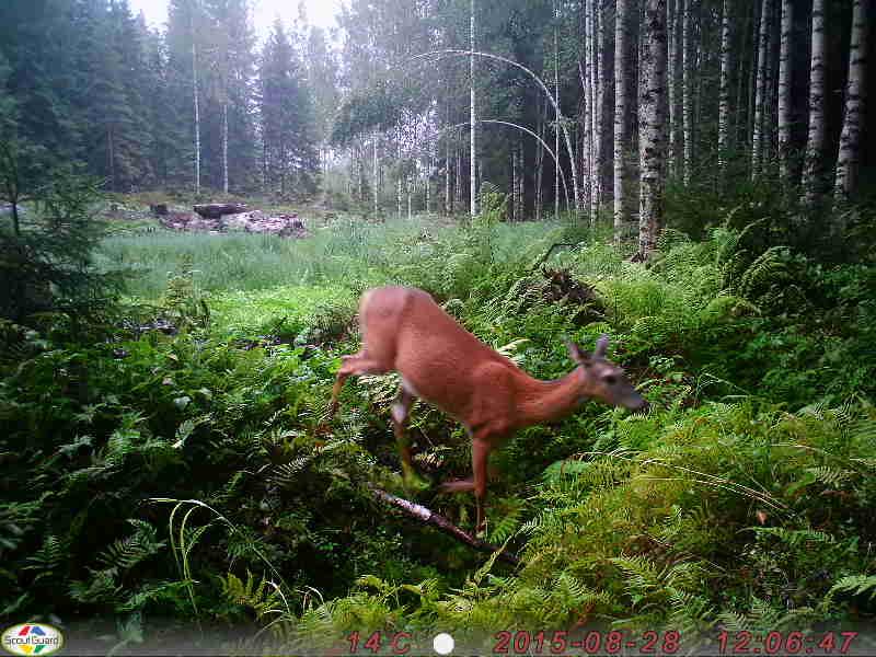 Uuden metsän keskellä olevan riistapellon vierailija.