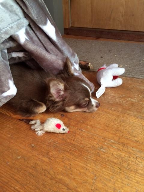Aapo relaa välillä. Huom! Varastanut kissan leikkihiiren ja Siirin lelun.