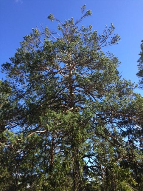 Metson syömäpuu.