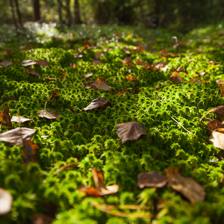 Autumn leaves on a bed of moss, Finnish nature, Råmossa Lodge