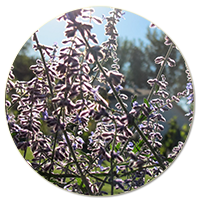 small-russian-sage.png