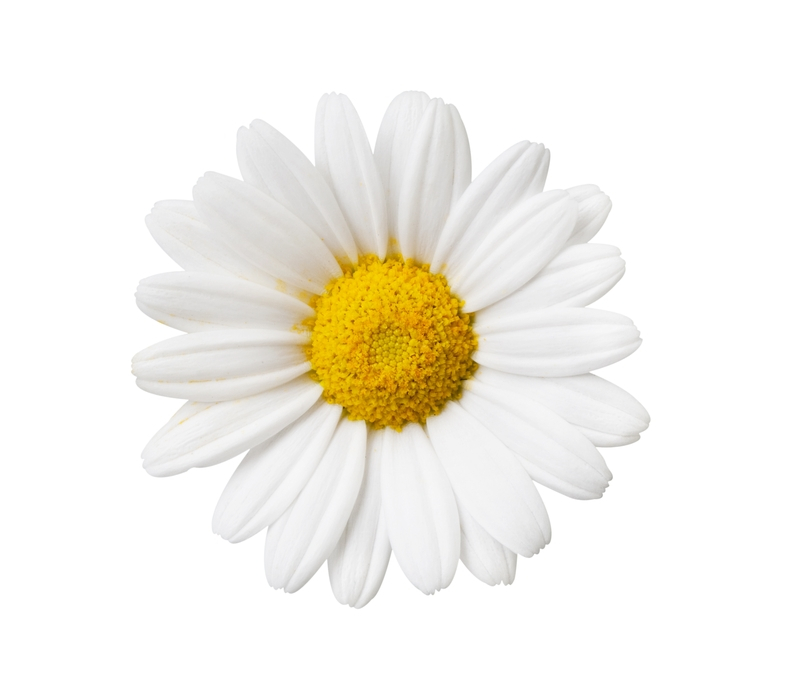 ringlez home create ringlets and waves on straight daisies clip art photo daisies clipart black and white
