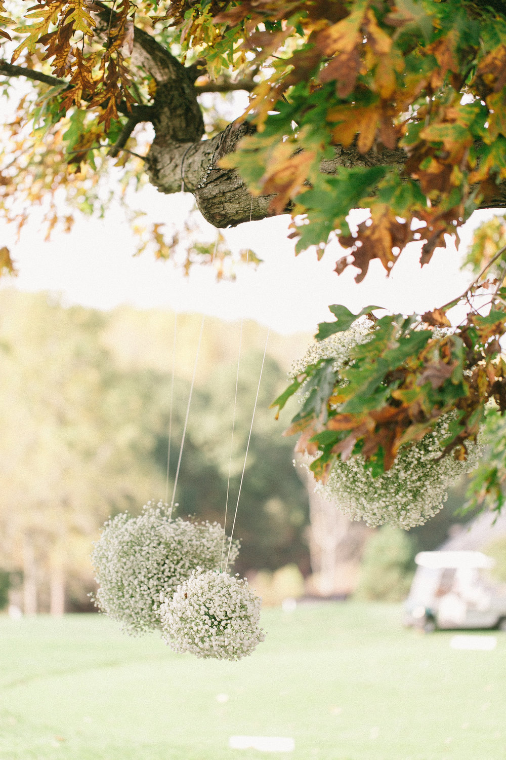 Baby's breath kissing balls hung from the Oak tree.