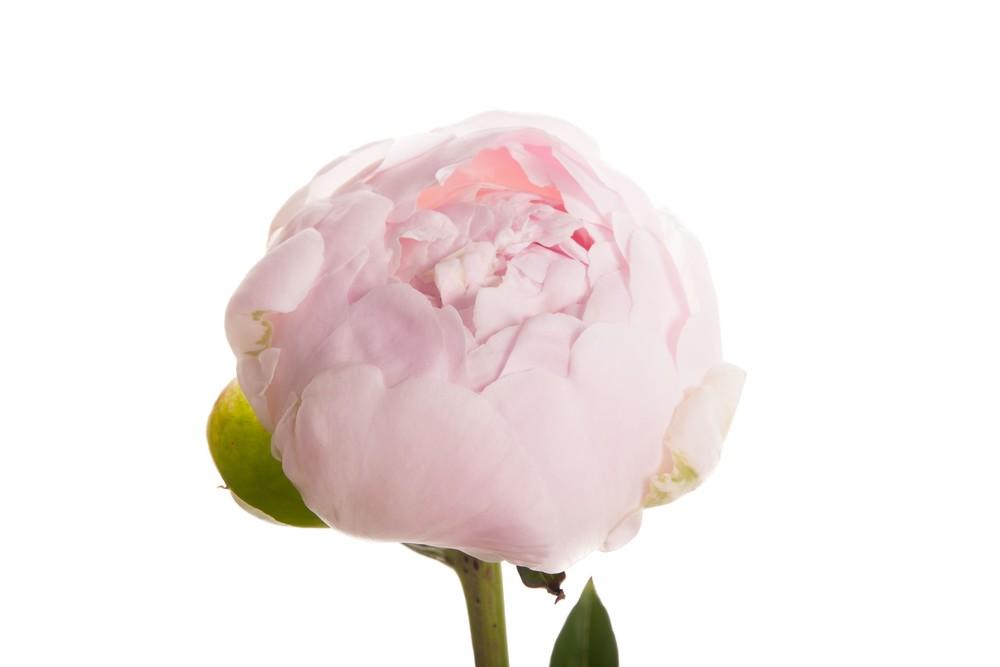 blush-peonies-2_1.jpg