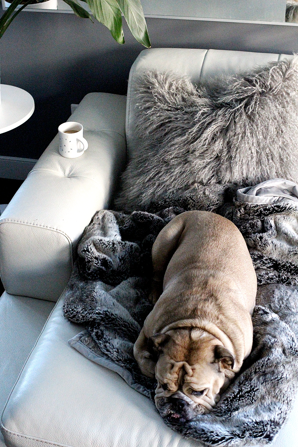 English Bulldog and Pottery Barn, Faux Fur