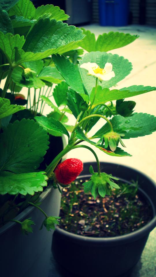 first strawberry.JPG