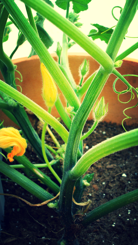 mini boo pumpkin plant.JPG