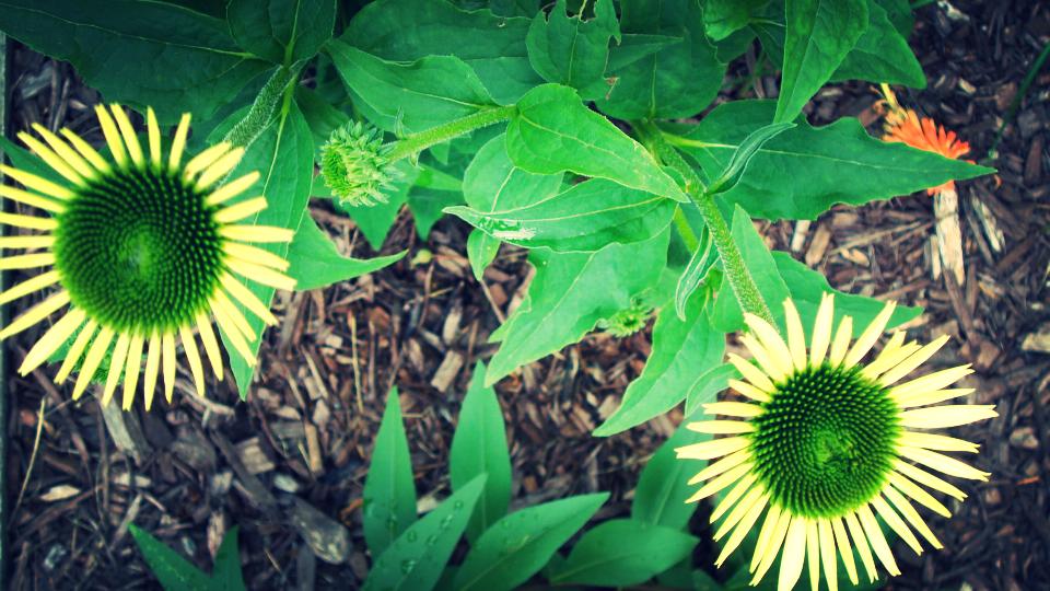 flowering echinacea.JPG
