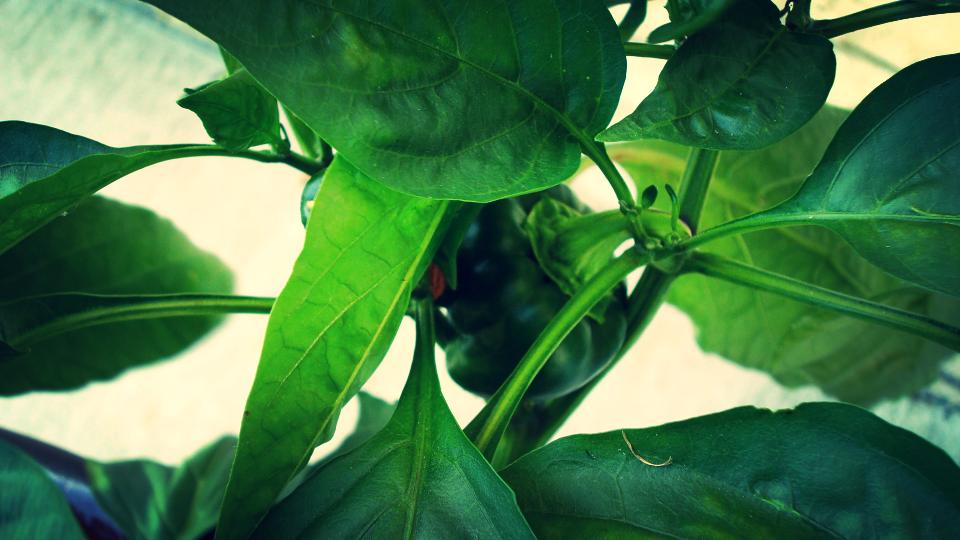 growing bell peppers.JPG
