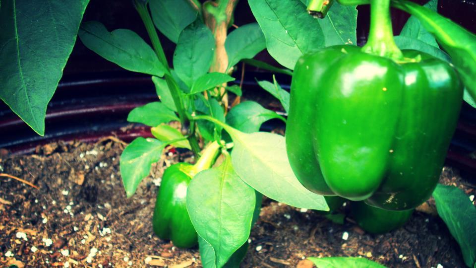 bell pepper plant.JPG
