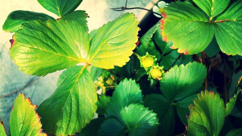 september strawberries.JPG