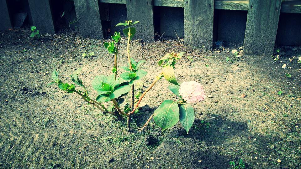 drought hydrangea.JPG