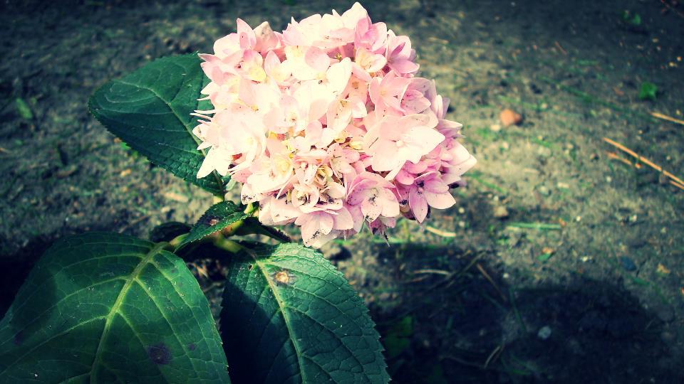 drought hydrangea bloom.JPG