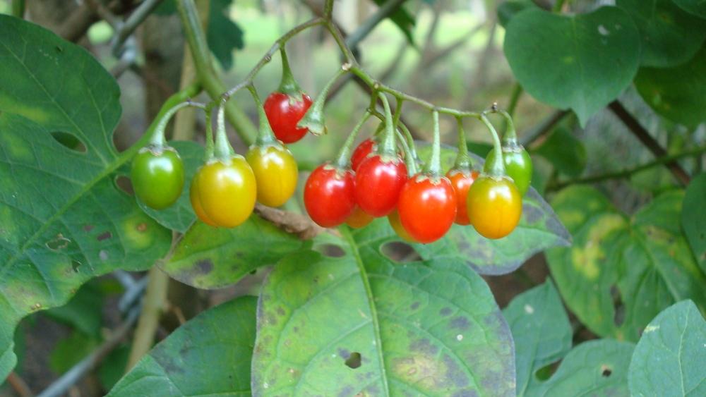 colorful berries.JPG