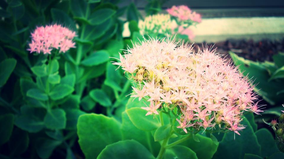 sep flowers 3.JPG
