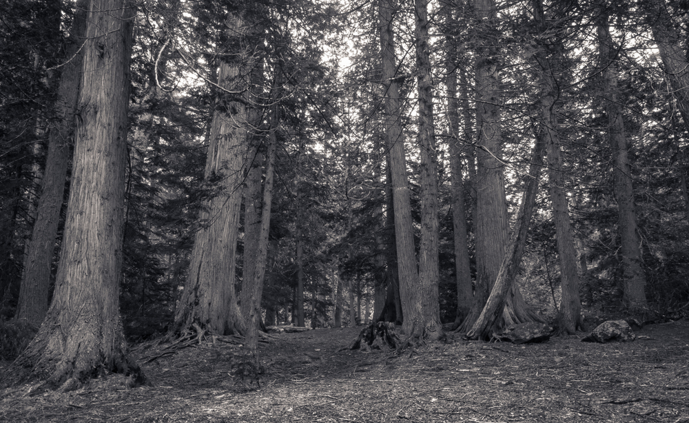 Cedars, Trail of the Cedars Nature Trail, Glacier National Park, July 2015